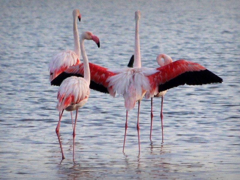 Flamingoes Hyères